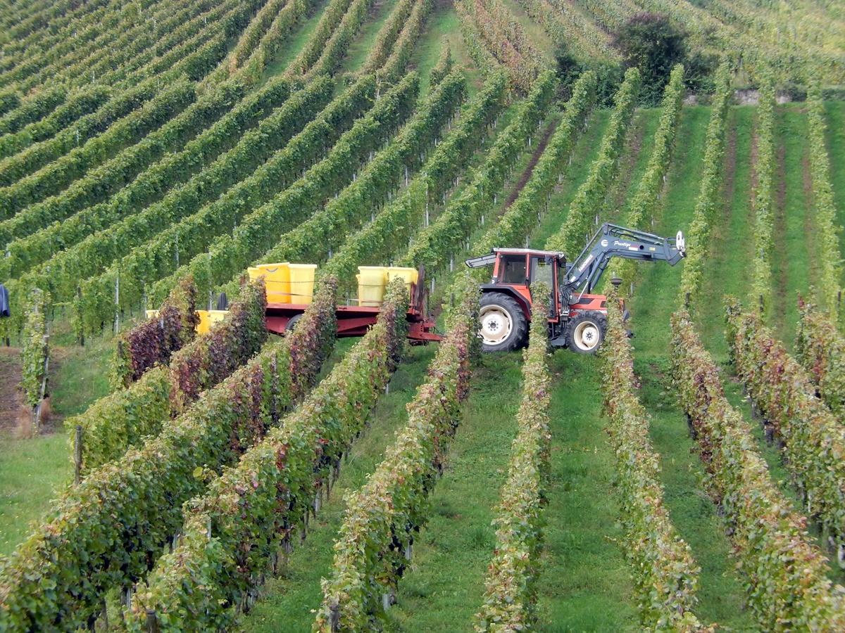 Alzacja - zbiory wina, winobranie
