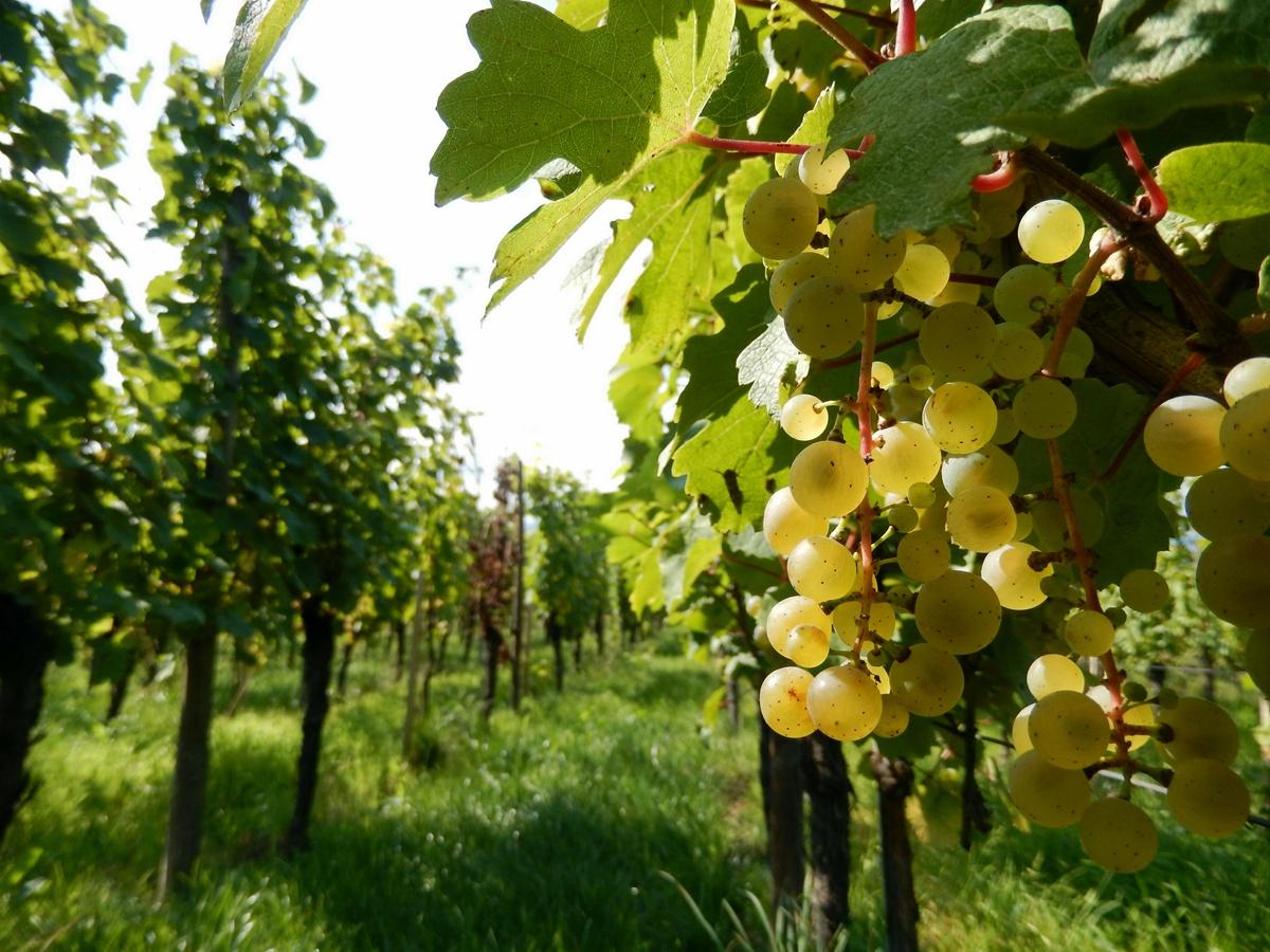 Alzacja - winobranie