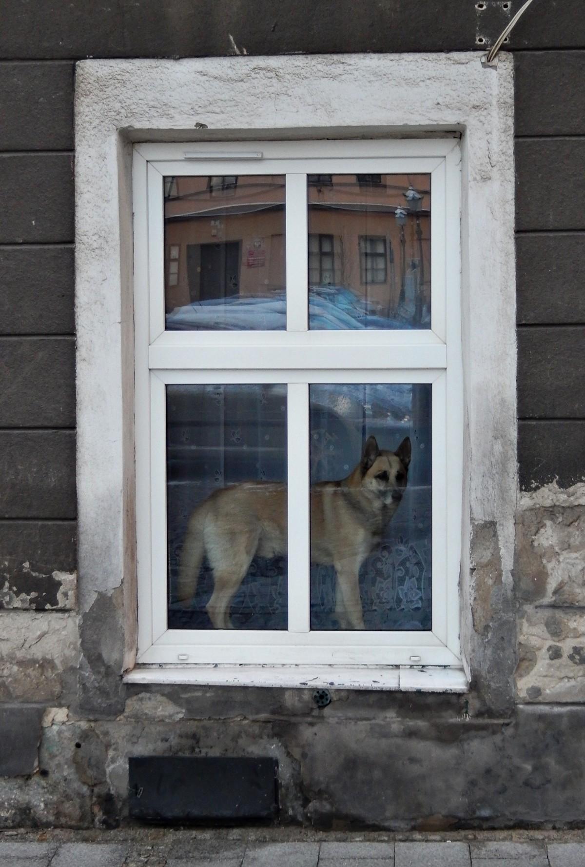 Pies, Cieszyn
