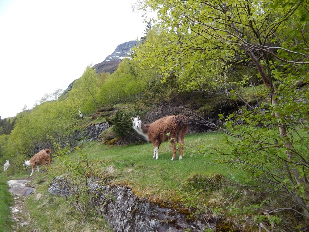 geirangerfjord lamy