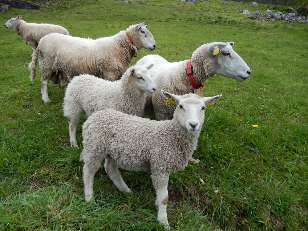 geirangerfjord owce